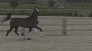 KWPN Stamboekkeuring Houten - 3 jarige tuigpaard merries (041-042-043-044-57)