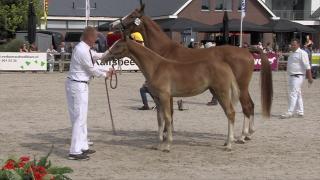 Selectie - Virbac - Veulenbokaal - Gelderse merrieveulens