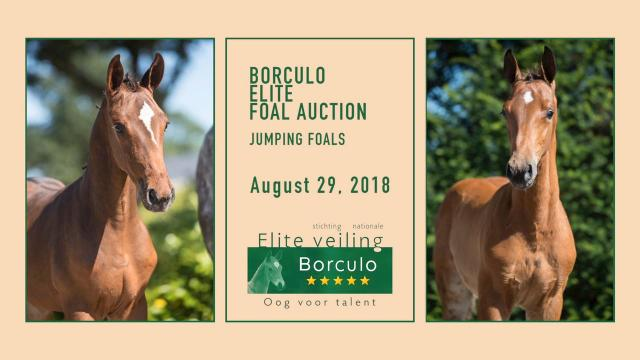 Elite Foal Auction Borculo - Jumping Foals