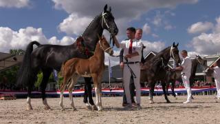 NTD: Piet Lelieveld fokker en eigenaar Tuigpaard van het Jaar