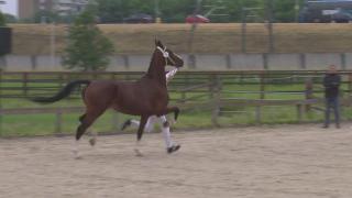 KWPN Stamboekkeuring Sliedrecht- 3 jarige tuigpaard merries (027-028-029-030)