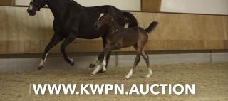 Bied mee op de KWPN Online Veulenveiling - KWPN Auction