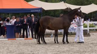 Merrieveulens Gelders Paard