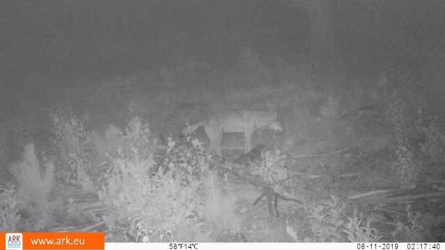 Veluwse wolf te zien op camera