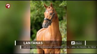 Lantanas